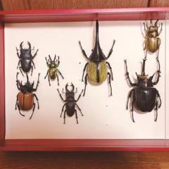 "Thumbnail of ""世界の昆虫専用ボックス+昆虫標本"""