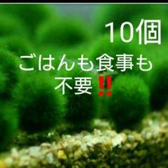 "Thumbnail of ""国産マリモ 約1cm  10個  癒しのマリモ 無農薬"""