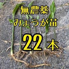 """Thumbnail of """"10日以降発送 無農薬 ミョウガ苗 22本"""""""