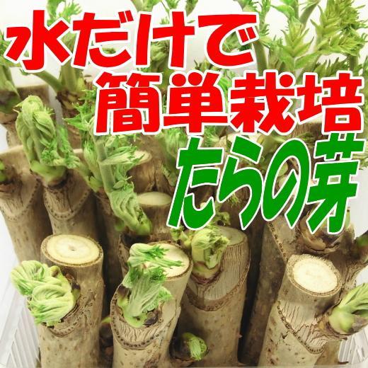 タラ の 芽 栽培