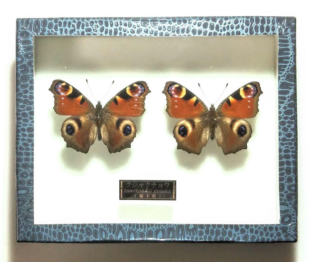 チョウ の 標本