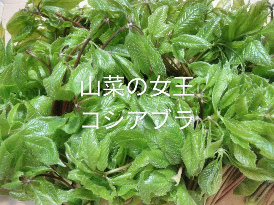 コシアブラ 北海道