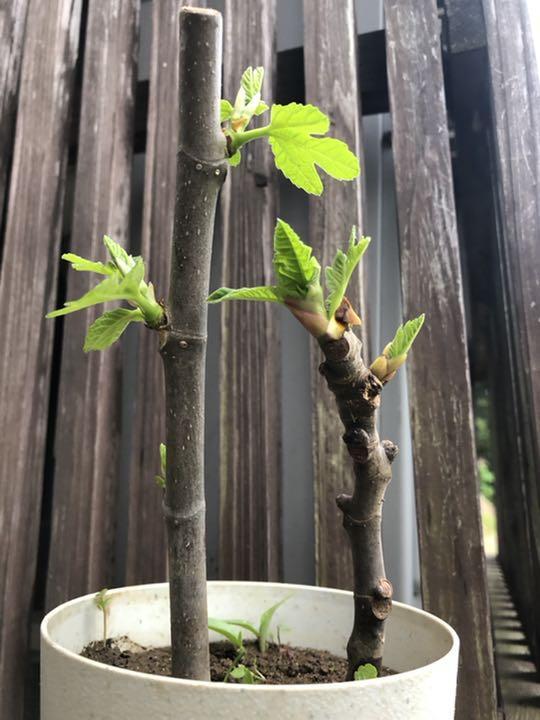 イチジク の 挿し木