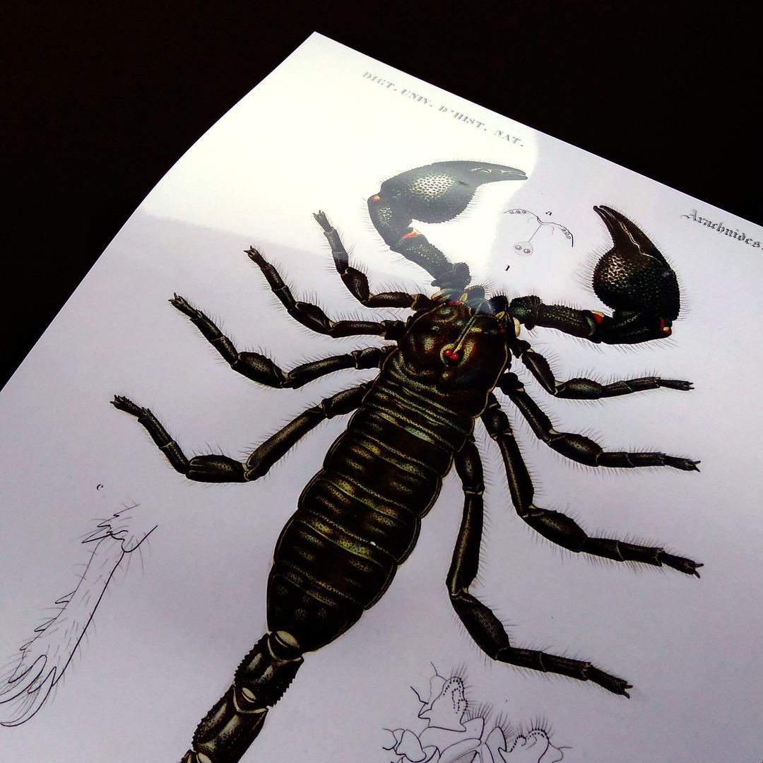 メルカリ 蠍 サソリ スコーピオン 節足動物 ビンテージイラスト 光沢 ポスター A3 インテリア 住まい 小物 1 280 中古や未使用のフリマ