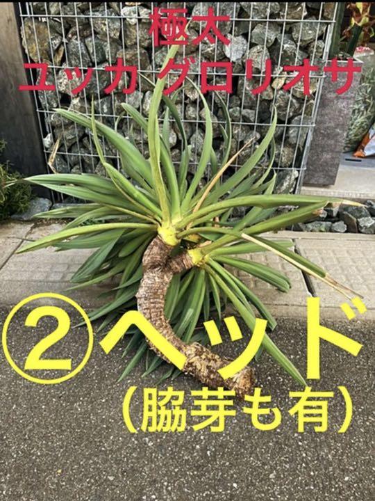 ✳️希少な②ヘッド&極太‼️大株 ユッカ グロリオサ✳️