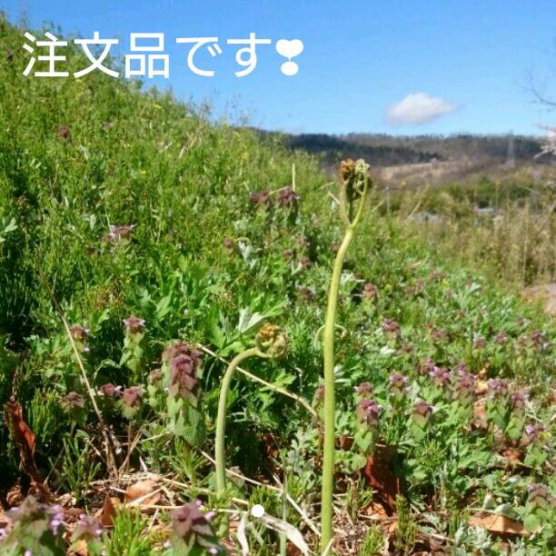 ワラビ 3キロ わらび 蕨