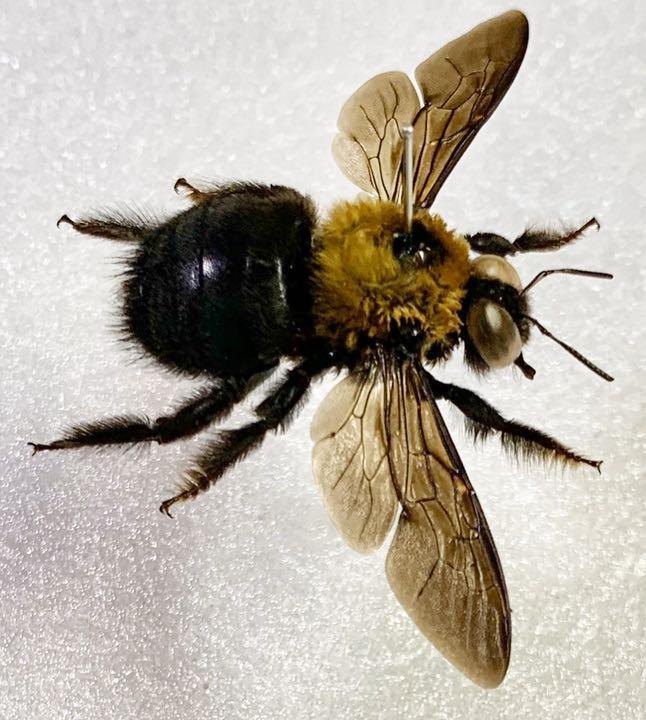 クマバチ 女王蜂