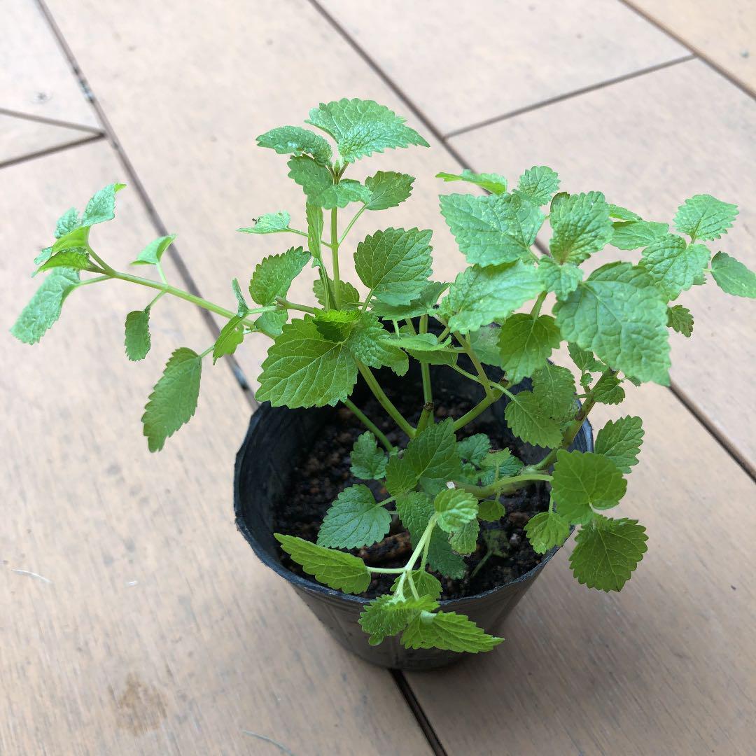 レモンバーム植物を播種する方法